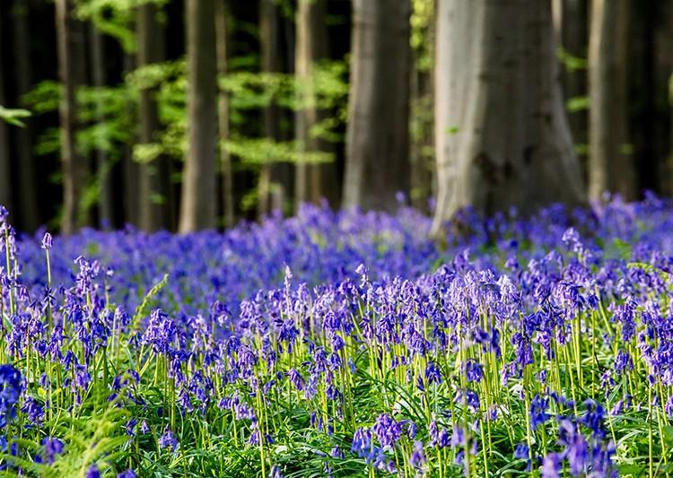 Open Gardens - Bluebell Walk